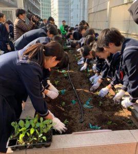 菜の花を花壇に植える生徒さんたち