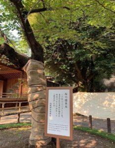 桜の標本木(ソメイヨシノ)