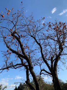 青空の下の柿の大木