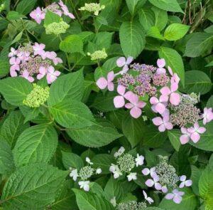 咲き始めの薄紫の紫陽花