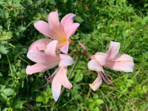 淡いピンク色の百合